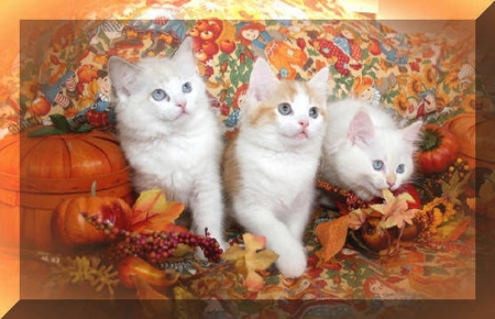 Thanksgiving Kittens Cats Animals Background Wallpapers On