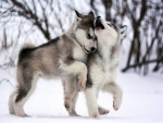 Wolf Pups Playing In The Snow