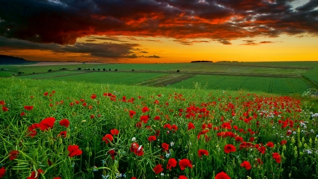 Green field with red flowers at sunset - sunset, sky, clouds, cool, nice, gold, green, awesome, fields, sunshine, sunrise, red, 1920x1080, beautiful, scenery, amazing, horizon, golden, nature, scene, landscape