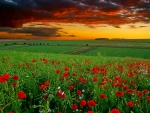 Green field with red flowers at sunset