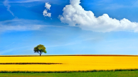 Lonely tree in yellow field - scenic, grass, 1920x1080, panoramic view, yellow, beautiful, clouds, nice, splendor, green, fields, scenery, blue, amazing, shadow, spring, sky, trees, cool, plants, summer, day, awesome, lonely tree, nature, white, scene, landscape