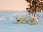 Polar bear dfamily