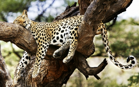 sleeping cheetah cats animals background wallpapers on desktop