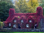 Virginia Creeper covers Welsh tearoom
