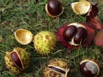 Chestnut Conkers