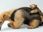 Second Baby Tamandua Born In London