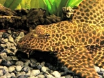 Sunshine Pleco Fish