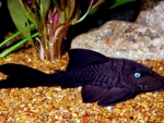 Blue Eyed Pleco Fish