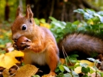 Squirrel With Acorn And Leaves