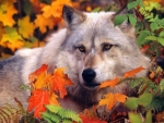 Autumn White Wolf