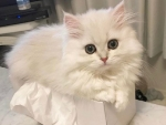 cute white fluffy in the box