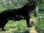 Beautiful Black Tiger