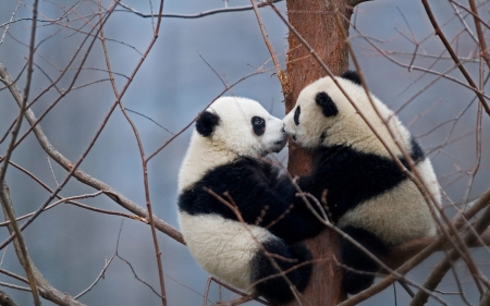 Kissing Pandas - nature, kissing, bears, photo, panda, tree