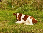 Calf on Grass