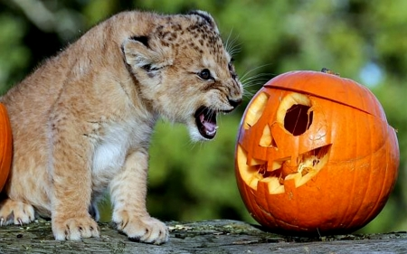 Answer Me Or I Will Bite You - Cute, Lion, Pumpkin, Cub, Funny