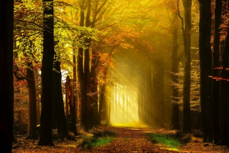 Golden autumn rays - rays, golden, path, walk, foliage, fall, forest, glow, sun, beautiful, trees