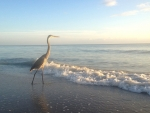 Heron by Sea