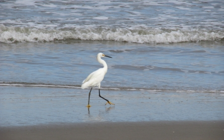 Heron by Sea - beach, bird, heron, sea, animal