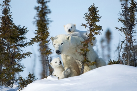 Polar Bear Family in Winter - Snow, Animals, Winter, Nature, Polar Bears