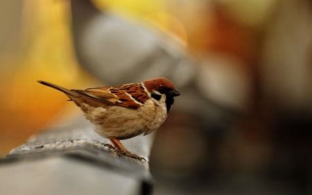 Sparrow - Animal, Sparrow, Bird, Nature