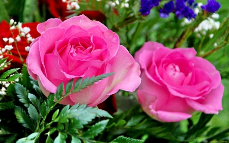 Fresh Roses - Field, Roses, Pink, Grass