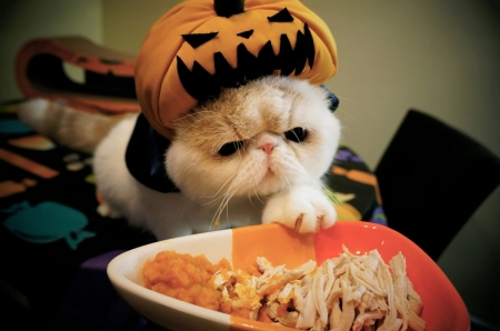 Halloween kitty - Halloween, cats, kitty, animals