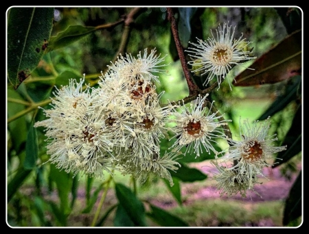 FLOWERING GUM - FLOWERING, FLOWERS, GUM, WHITE