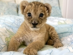 animals-baby-lions-nature