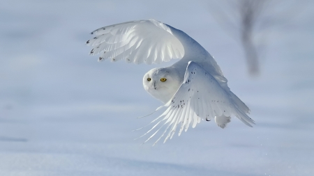 Snowy Owl Flight - owl, wings, bird, bird of prey, snow, white, animal