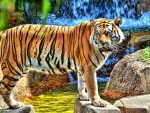 Amazing_Tiger_Standing_on_River_Jungle