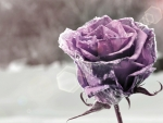 Lavender Rose Frozen Rose Love