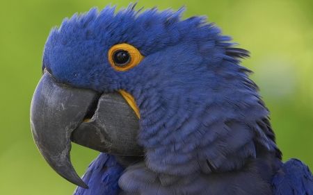 blue macaw - parrot, macaw, bird, animal