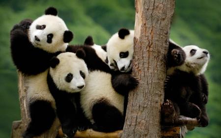Cute Playing Baby Pandas Bears Animals Background Wallpapers On Desktop Nexus Image 2433231