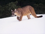 puma on the snow