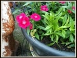 FROG IN FLOWER POT