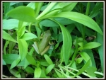 GREEN FROG IN PLANTS