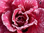 Red ice rose