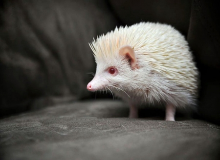 Albino Hedgehog - pink eyes, white, hedgehog, albino