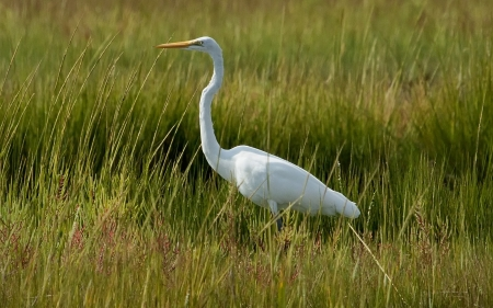 Egret - grass, white, bird, egret