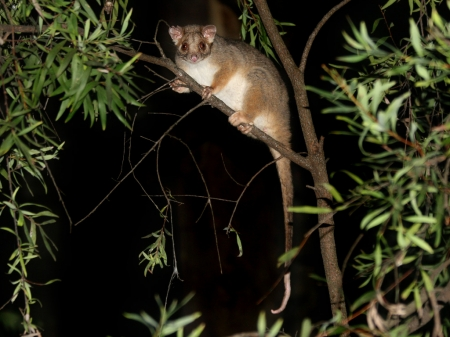 Common Ringtail Possum - Ringtail, Wallpaper, Common, Possum