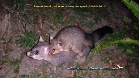 Common Brush Tail Possum With Joey