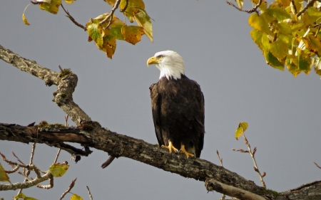 Bald Eagle - eagle, autumn, branch, bird