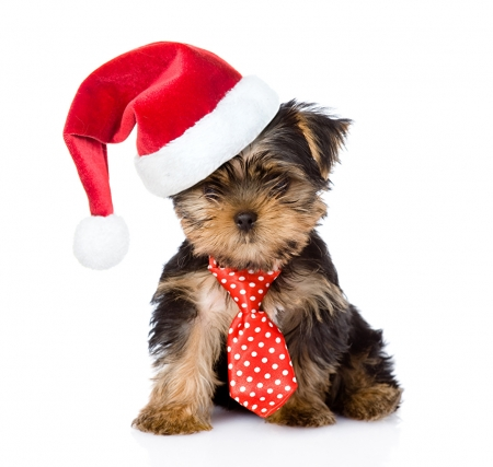 :) - craciun, caine, tie, hat, dog, puppy, red, christmas, yorkshire terrier, animal, santa