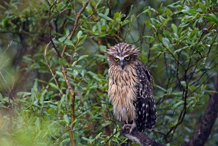 Tawny Fish Owl Birds Animals Background Wallpapers On Desktop Nexus Image 2436771