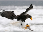Eagle in action