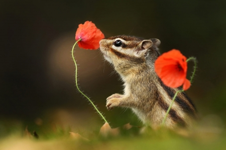 Chipmunk - squirrel, flower, animal, veverita cu falcute, chipmunk, poppy, red, cute, vara, summer