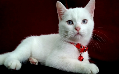 Christmas Blue Eyed White Cat - Red, Cat, Bow, Paws, Beautiful, White