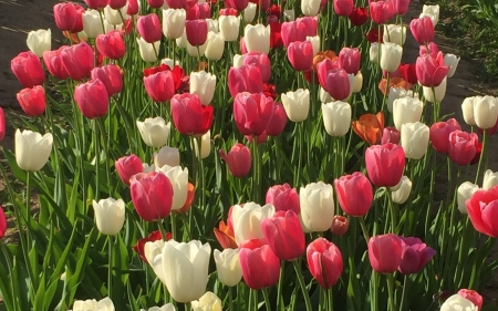 Tulips - flowers, nature, tulips, Italy