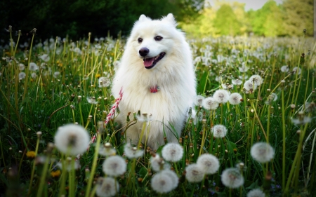 Cute puppy - Flowers, Summer, Meadow, Spitz