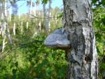 mushroom on the tree